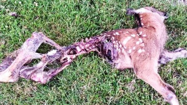 Mistanke: Blev denne hjort dræbt af en ulv?