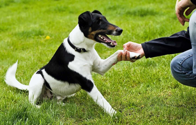 indbildsk gravid hund søger ældre mand