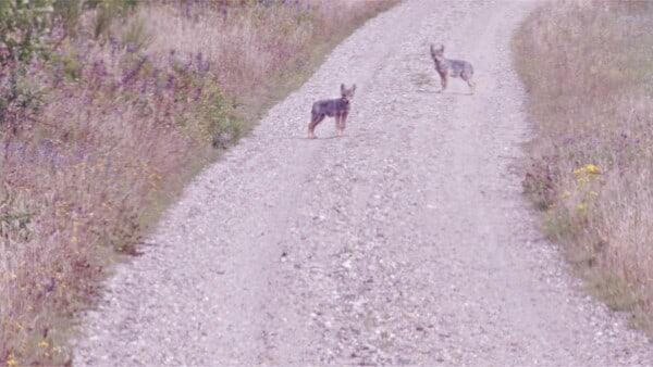Pludselig stod der ulvehvalpe på stien: - Følte mig lidt beæret